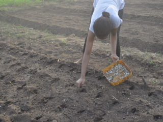 Fig. 47. BSc student Kissezounon Geraldine sowing Moringa for field experiments